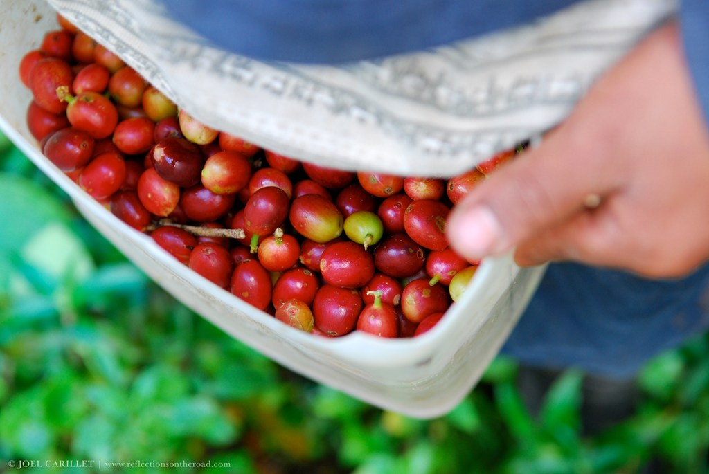 Boquete Panama coffee harvest
