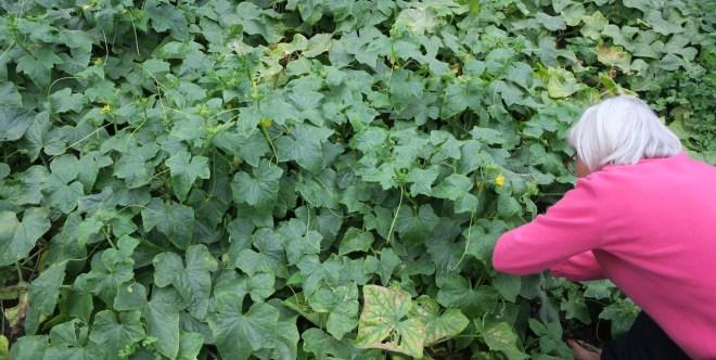 Asie- og agurkeplanter ligner hinanden til forveksling og er enormt tætte...