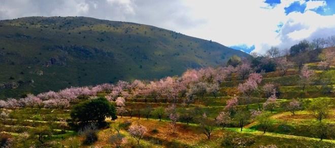 Blomstrende mandeltræer