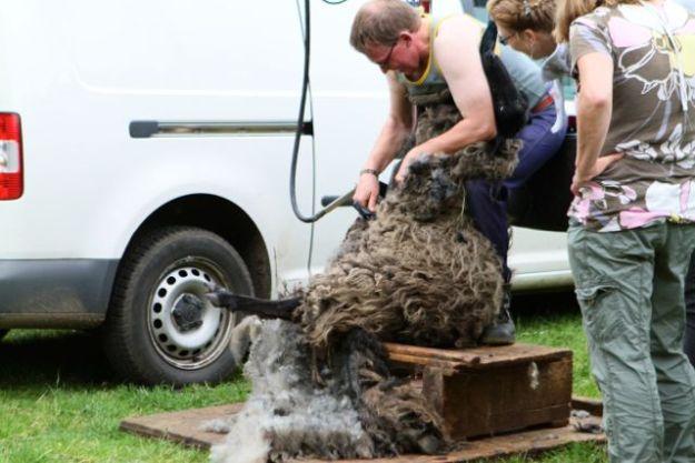 Hatte am morgen schon 300 Schafe geschoren: Schafscherer in beim Verein Schenerland.de