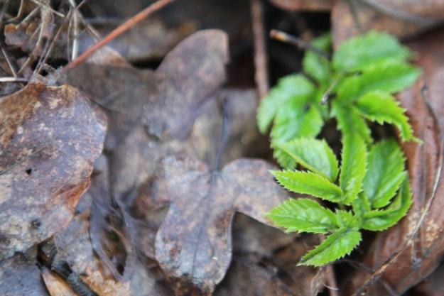 Giersch, Aegopodium podagraria, wird auch Gichtkraut oder Geißfuß genannt