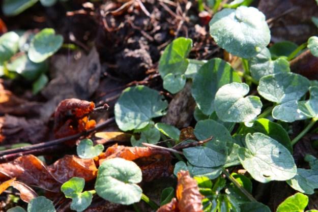 Scharbockskraut - Vitamin C-Spender par excellence - dazu später mehr