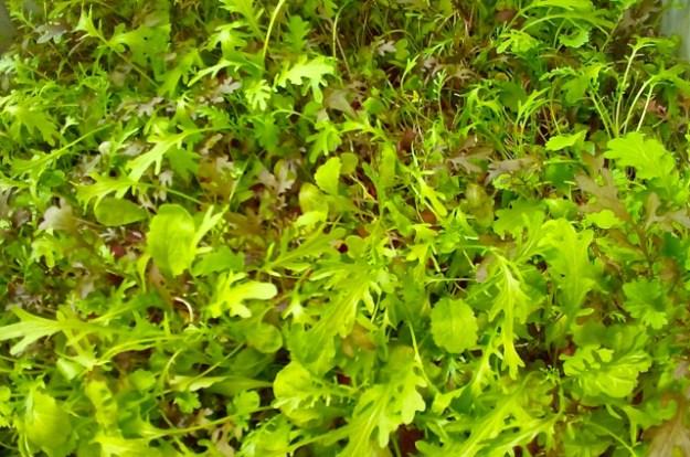 Baby Leaf Mischung von Farmers Cut - leicht bitter, scharf und säuerlich und mega-frisch