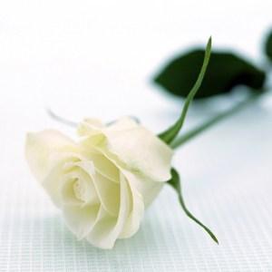 A single stem of white rose.