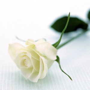 A single stem of white rose.