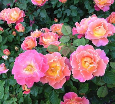 Fruity Petals Own Root Rosa Climber Fruity Petals Own