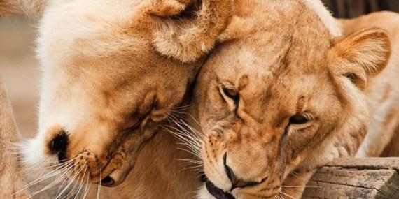 Löwen in zärtlichem Umgang miteinander