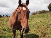 Castleblayney Horse