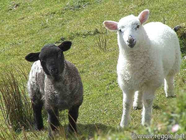 Sheep-Photos