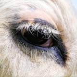 Oeil de bovin