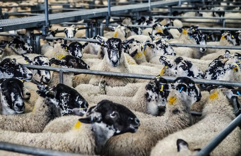 Élevage de moutons