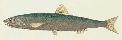 Illustration encyclopédique en couleur d'un anchois