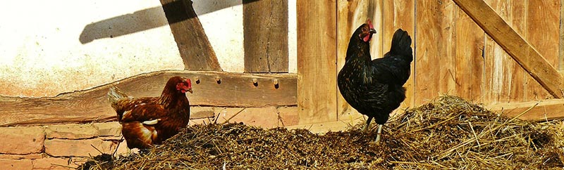 Photographie des deux poulets sur un tas de fumier devant le mur d'une ferme. Élevés en plein air, avec des aliments bio sains et naturels, sans antibiotiques, sans OGM, ni pesticides, ces deux poulets fermiers sont bios.