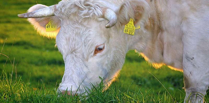 Viande bio : photographie en couleur d'une vache charolaise broutant de l'herbe avec le soleil couchant derrière elle.
