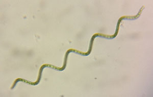 Algue spiruline verte vue au microscope