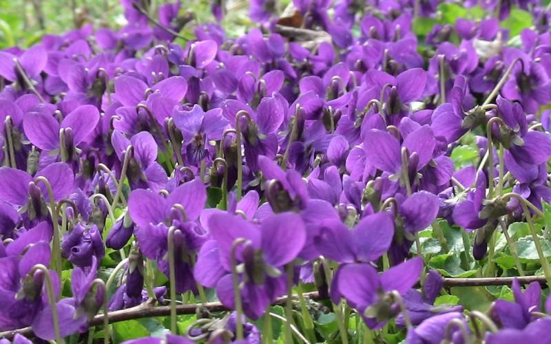 coroncina di violette