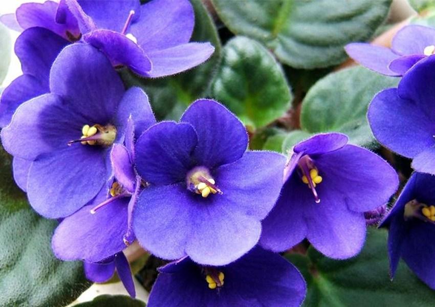 violetta simbolo di umiltà