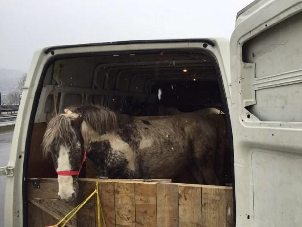 Island-Pony Schmuggel