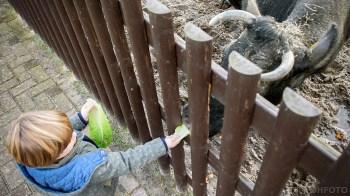 Koe Noortjes wordt door Brent gevoerd (DHfoto)