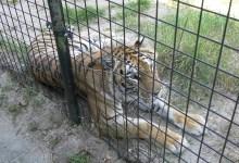 Photo of Op bezoek bij Stichting Leeuw (video)