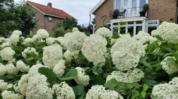 Een voortuin vol witte hortensia's in De Weel.