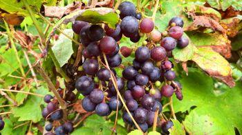 Ook druiven komen we onderweg tegen