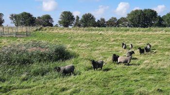 Deze schapen komen polshoogte nemen