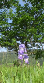 iris bleu de Sibérie ?