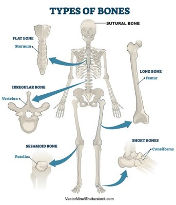4. In Anatomy Revision,What are the types of bones and explain how long bone looks like?