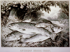 American_Brook_Trout