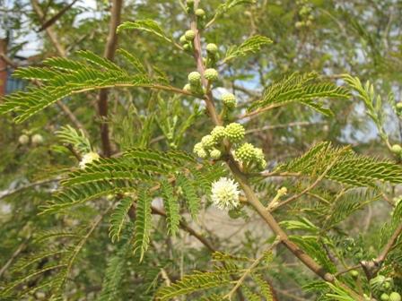 Leucaena leucocephala leaves