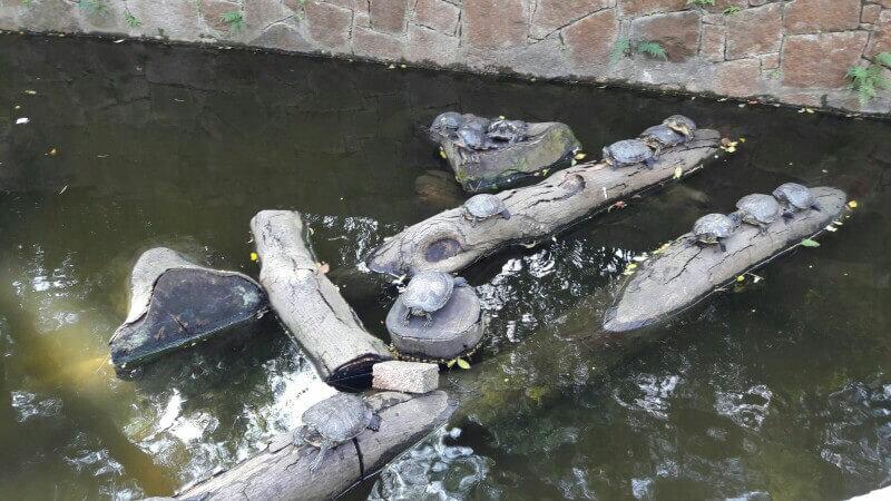 Schildkröten auf Holzstämmen im Wasser im Kowloon Park