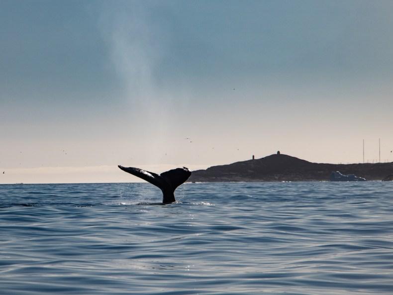 Der Walruf der Inuit