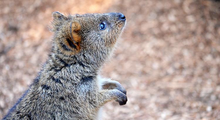 Quokka auf Rottnest Island in Australien (Bigstock.com - KHBlack)