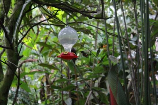 Kolibris direkt im Hostel in Mindo, Ecuador
