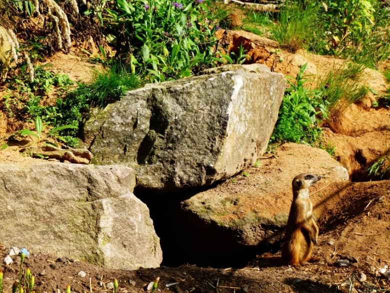 Erdmännchen im Tiergarten Nürnberg