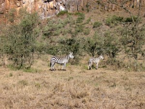 Zebras im Hell`s Gate National Park