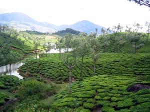 Teefelder um Munnar