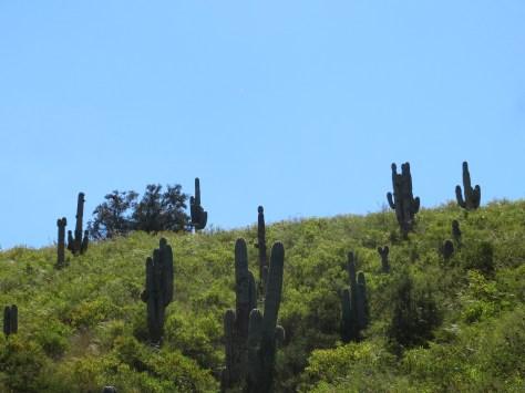 Kakteen im Valle Calchaquíes