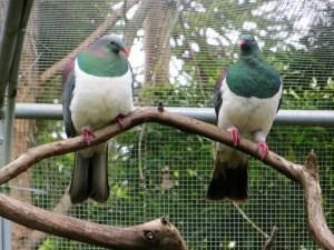 Dicke Tauben im Kiwi House