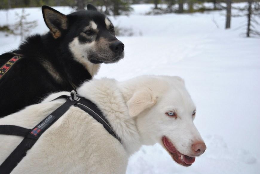 hundekjøring med hundespann på beitostølen7