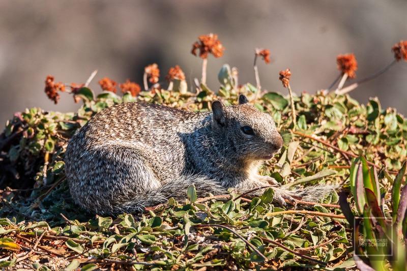 Fuchshörnchen