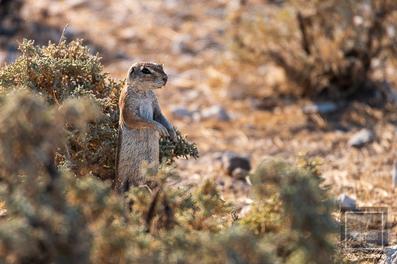 Etosha National Park - Erdmännchen