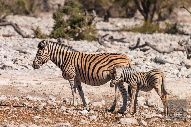 Etosha National Park - Zebramutter