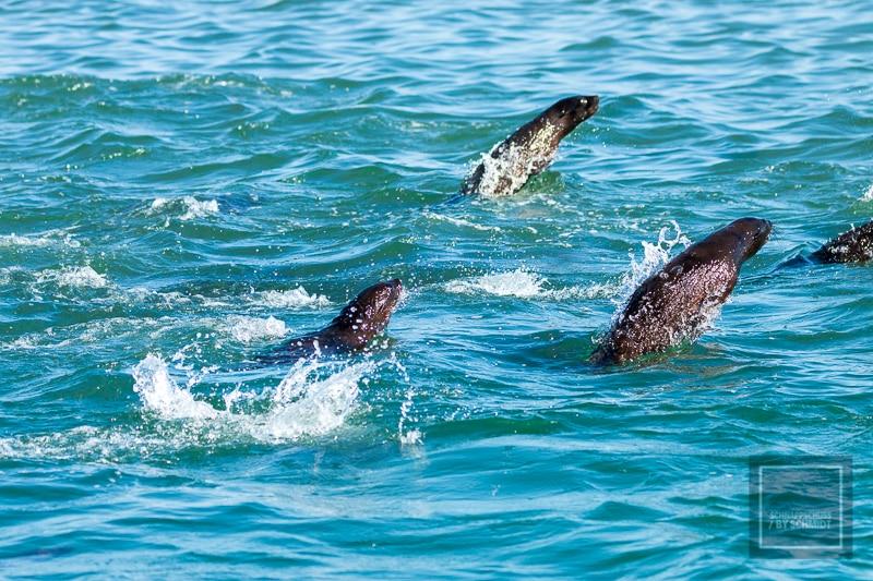 Namibia Rundreise 3 - Robben im Wasser