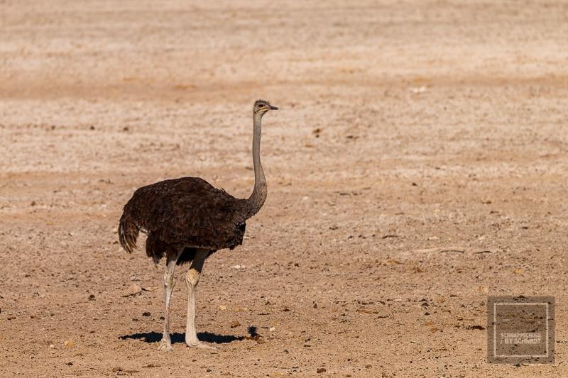 Namibia Rundreise 3 - Strauß