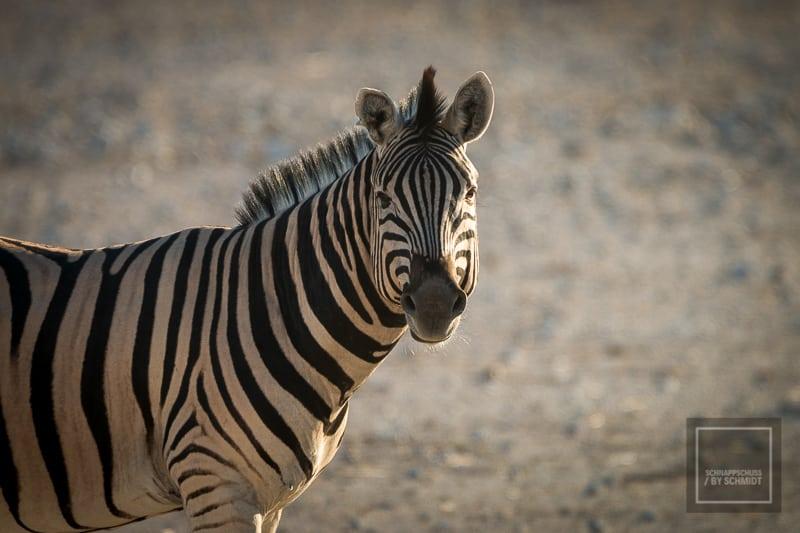 Namibia Rundreise 3 - Zebra