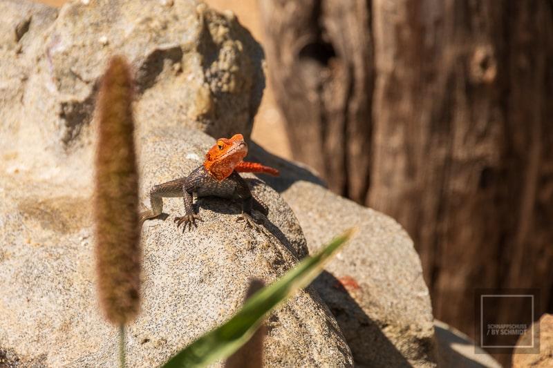 Namibia Rundreise 4 - Gecko