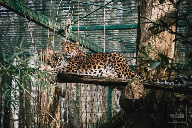 Zoo Dortmund - Amur Leopard