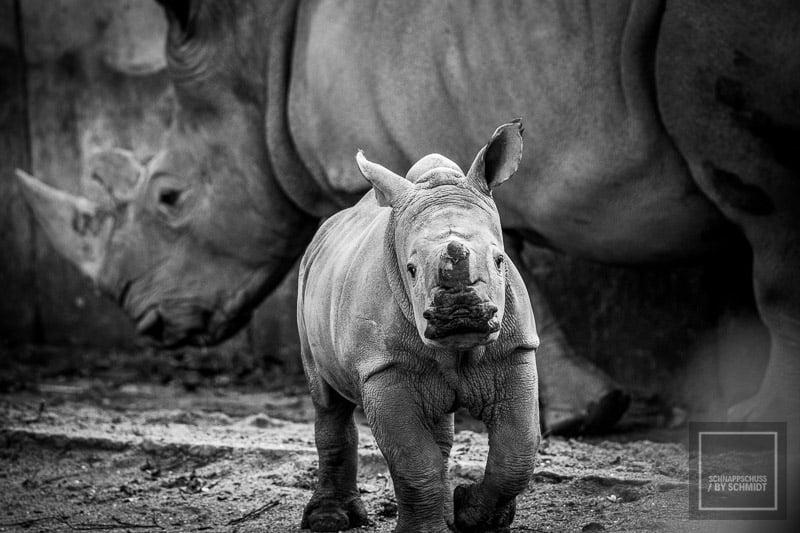 Zoo Dortmund - Brautmaulnashorn Baby 2